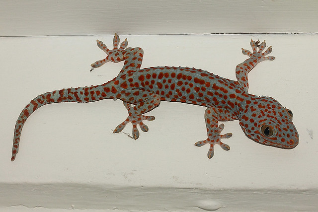 Tokeh tokee tokay gecko gekko gecko