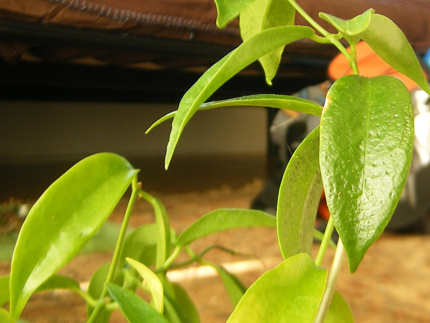 Hoya chlorantha pits [angle 1]