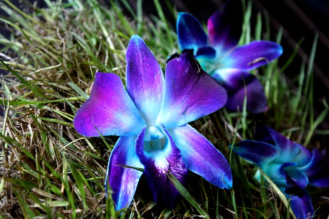 Blue and Purple Orchid | Flickr - Photo Sharing!