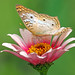 White Peacock Butterfly on Pink Zinnia by Daniela Duncan