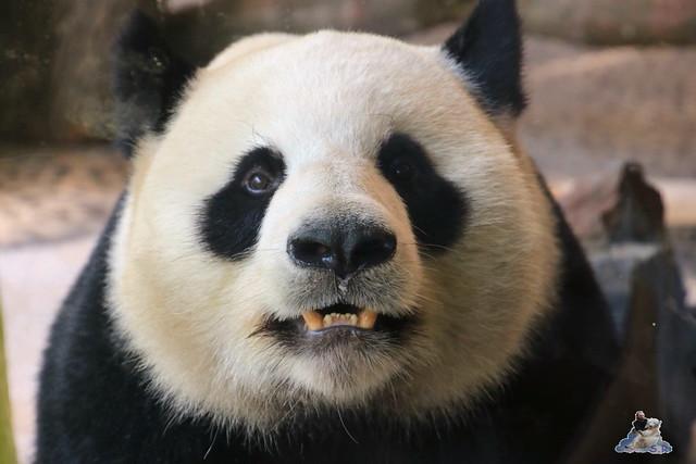 Panda Meng Meng und Jiao Qing im Berliner Zoo 062