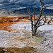 THE Dead Tree of Mammoth Hot Springs