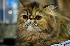 domestic long-haired cat(0.0), british semi-longhair(0.0), domestic short-haired cat(0.0), exotic shorthair(1.0), animal(1.0), persian(1.0), small to medium-sized cats(1.0), pet(1.0), fauna(1.0), close-up(1.0), cat(1.0), wild cat(1.0), carnivoran(1.0), whiskers(1.0),