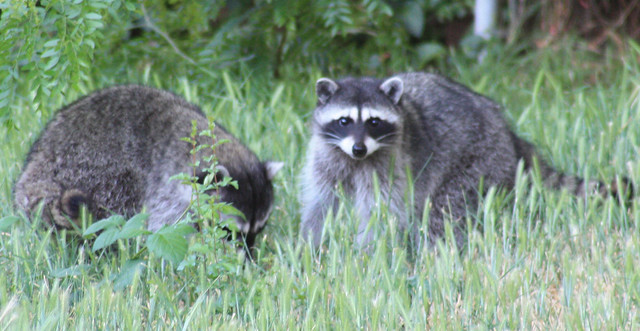 raccoons in the backyard flickr photo sharing