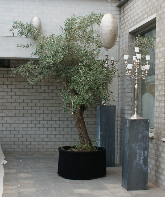 olive tree in container oogenlust flickr photo sharing. Black Bedroom Furniture Sets. Home Design Ideas