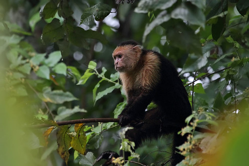 White-faced Capuchin, Hacienda Baru