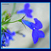 DSCN5884_1_72 - Blue Lobelia Flower