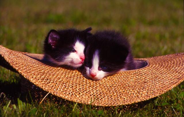 Katzen im Hut