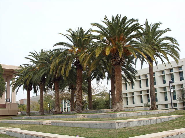Palm trees on the CSUN campus in Northridge, California
