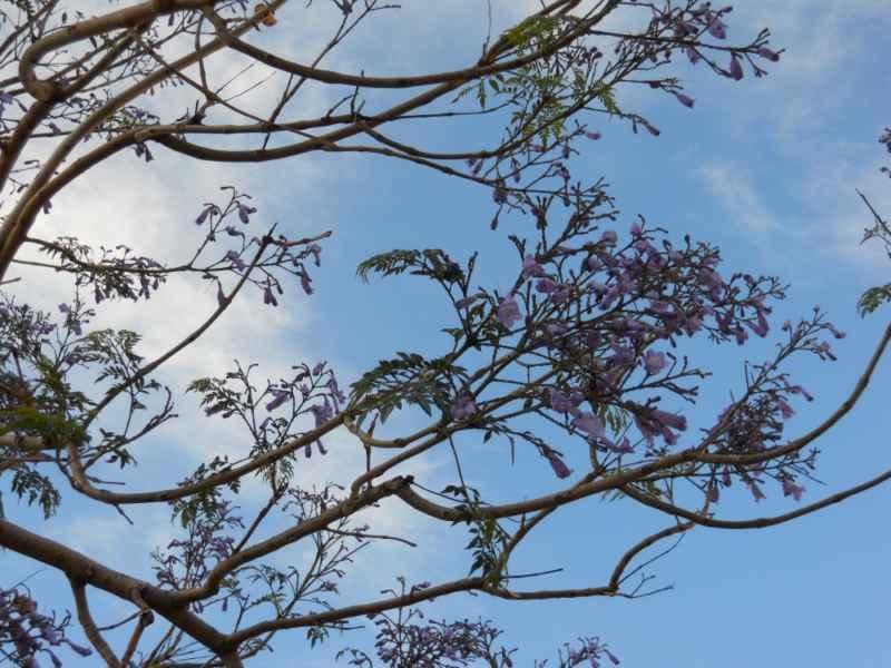 Jacaranda mimosifolia.. ramas 2