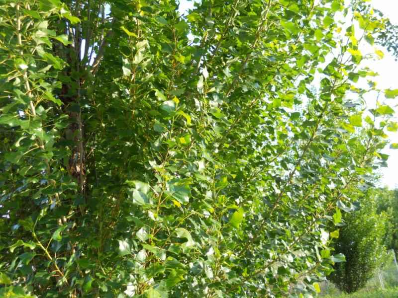 Populus nigra 'Italica'.. hojas 2