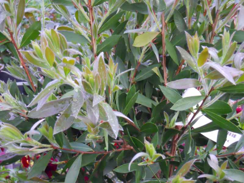Callistemon spp hojas 2