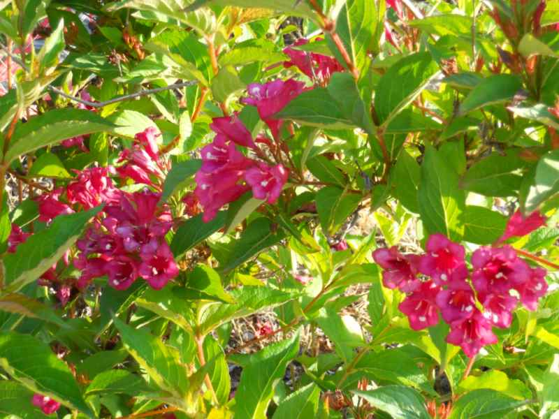 Weigela florida 'Eva Rathke' 2