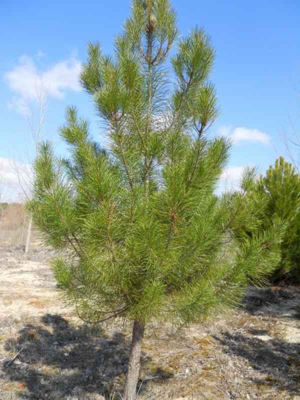 Pinus pinea v 5