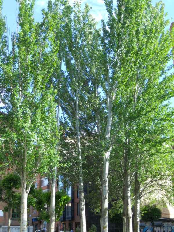 Populus alba 'Pyramidalis' v 1