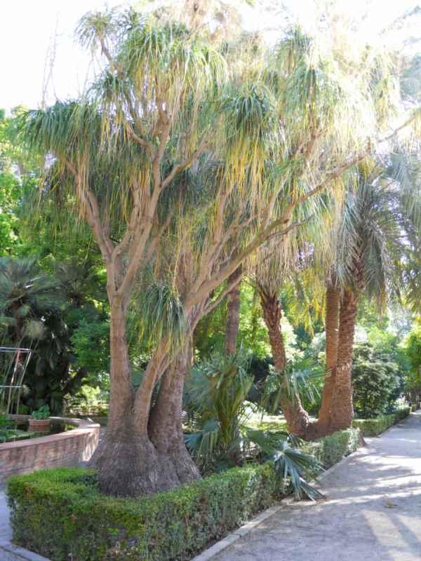 Beaucarnea recurvata 'Lemaire' árbol v 3