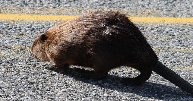 beaver crossing the road