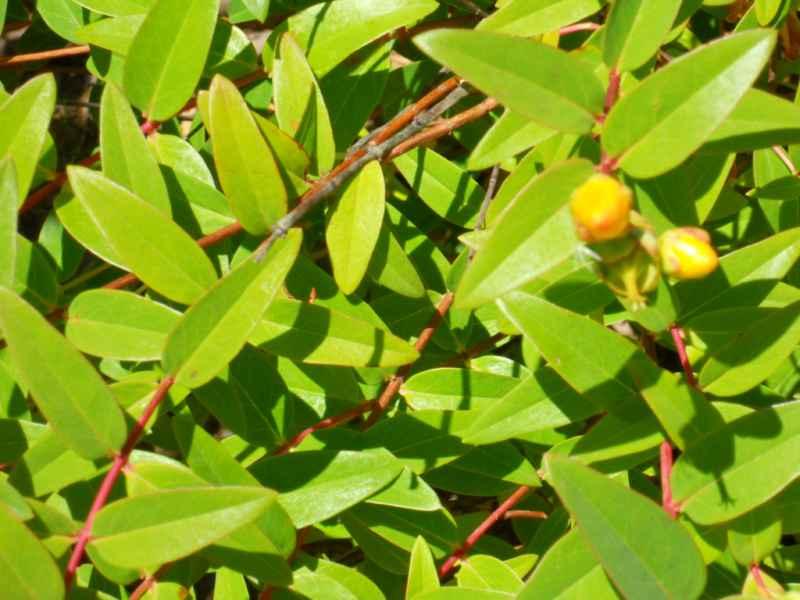Hypericum hoockerianum 'Hidcote' 3