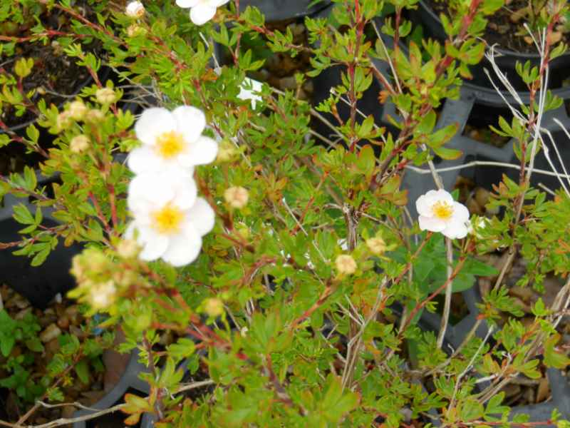 Potentilla fruticosa 'Princess' 3