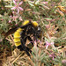 Sonoran Bumblebee - Photo (c) stonebird, some rights reserved (CC BY-NC-SA)