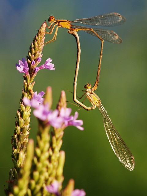 A pair of Orange Bluets mating on Blue Vervain.  Taken at Lake Louise State Park in Mower County, MInnesota.