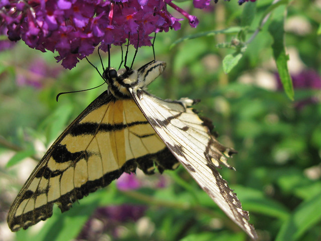 2010.07.15 - Eastern Tiger Swallowtail