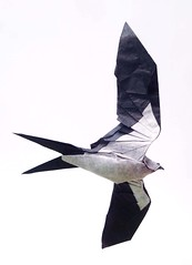 Swallow-tailed Kite / ツバメトビ