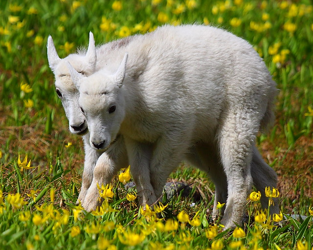 IMG_2949 Mountain Goat Kids, Glacier National Park