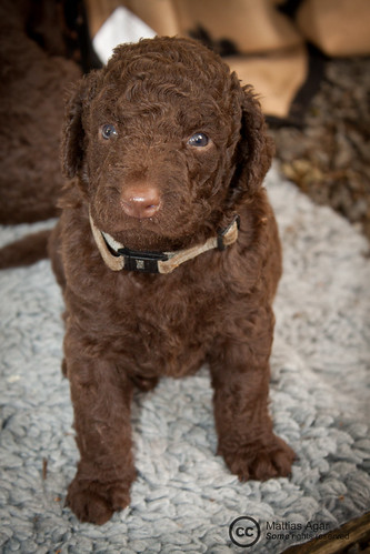 Curly Coated Retriever Puppy #5