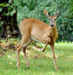 white tail deer 13
