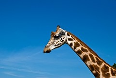 giraffe seen on a safari tour in ree park, ebeltoft