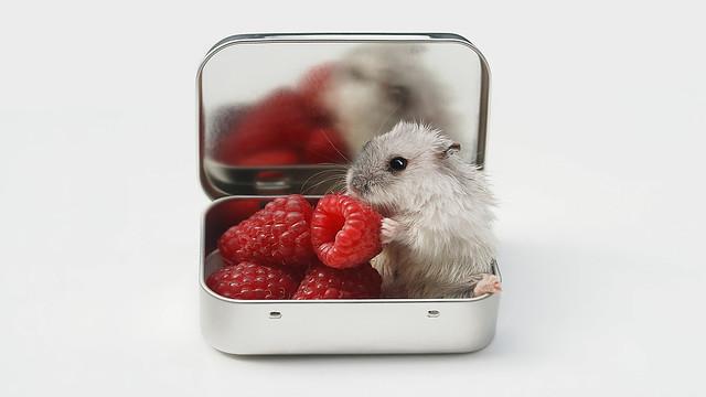 Hamster loves raspberries