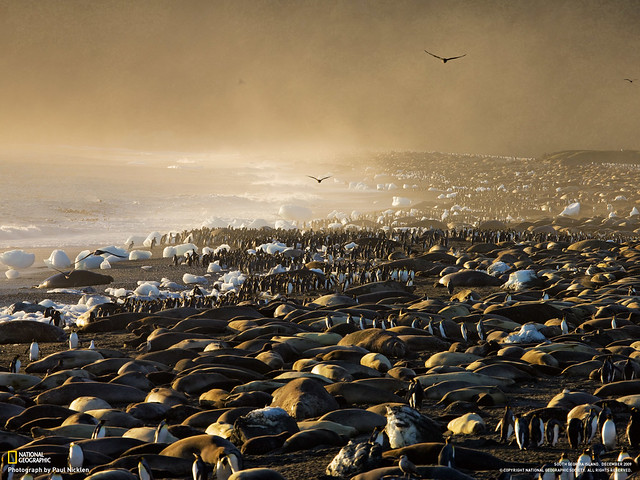 Giant petrels patrol the beach at St. Andrews Bay, thronged by king penguins and elephant seals, South Georgia, Antarctica, by Paul Nicklen