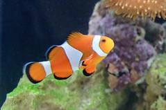 coral reef, animal, anemone fish, fish, yellow, coral reef fish, organism, marine biology, fauna, underwater, reef,