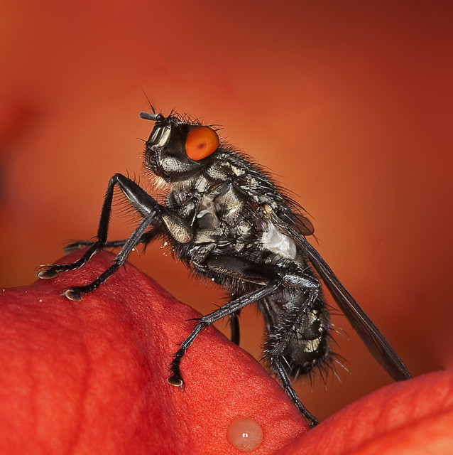 Marbled grey flesh fly - Graue Fleischfliege