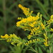 giant goldenrod - Photo (c) Hermann Falkner, some rights reserved (CC BY-NC)