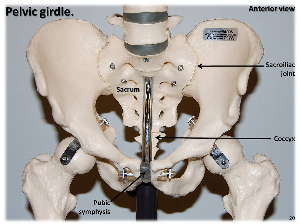 Pelvic girdle, anterior view with labels - Appendicular ...