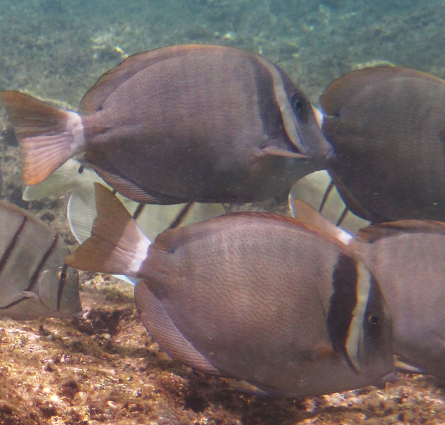 Header of Acanthurus leucopareius