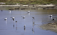 Waders & gulls at the salt pans | Birding Lesvos