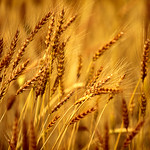 Bearded Barley