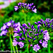 Small photo of Agapanthus (African Lily)