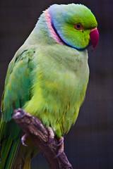 animal, lovebird, macaw, parrot, yellow, wing, pet, green, fauna, parakeet, common pet parakeet, beak, bird,