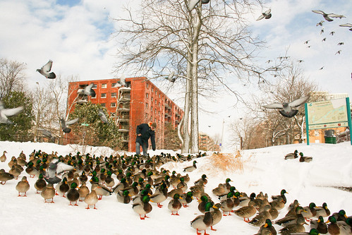 March of the mallards
