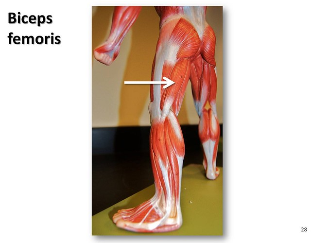 Biceps femoris - Muscles of the Lower Extremity Anatomy Visual Atlas, page 28