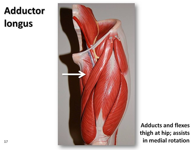 Adductor Magnus Model Pectineus on model related keywords ...