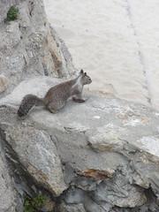 Ground Squirrel - Monterey