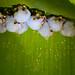 Honduran White Bat - Photo (c) Wanja Krah, some rights reserved (CC BY-NC-SA)