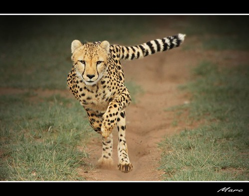 Cheetah run new edition