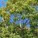 Cheirodendron trigynum subsp. trigynum