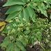 Peucedanum sandwicense